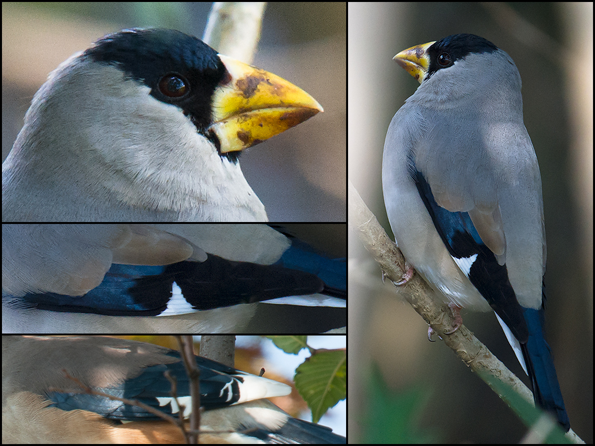 Comparison of adult-male Chinese Grosbeak (bottom L) and Japanese Grosbeak (all others). Craig Brelsford.