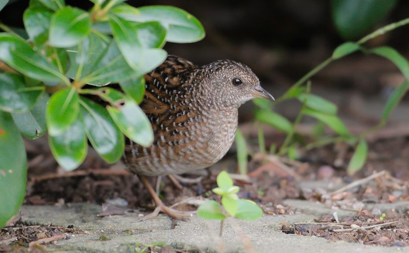Swinhoe's Rail in Shanghai