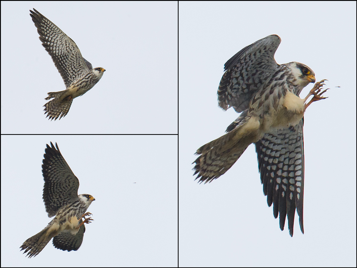 Amur Falcon catching gnats at Nanhui, 12 Nov. 2016.