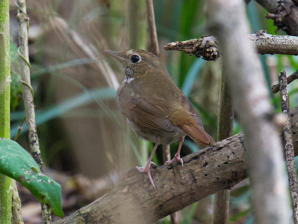 Rufous-tailed Robin <em>Larvivora sibilans</em>, record for Shanghai. 13 Nov. 2016, Microforest 4, Nanhui.