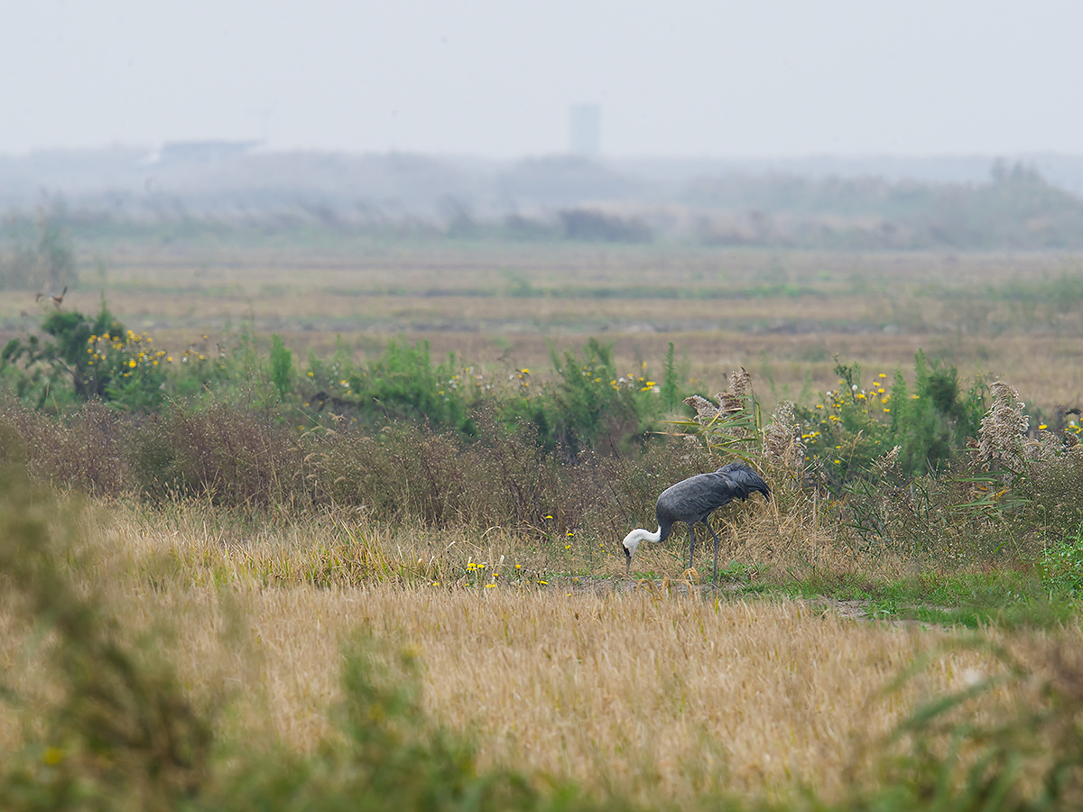 "The Hooded Crane was feeding, a sign that it was relaxing despite being 60 km away from the regular wintering site of Hooded Crane at eastern Chongming Island. On Sat. 12 Nov. Elaine, Michael, and I had the first record of Hooded Crane in the history of the Shanghai Peninsula (see latest post on shanghaibirding.com). This almost certainly is the same bird. Hooded Crane is listed as Vulnerable. About 11,500 individuals remain. The key threats to its existence are, in the words of IUCN, ""wetland loss and degradation in its wintering grounds in China and South Korea."""