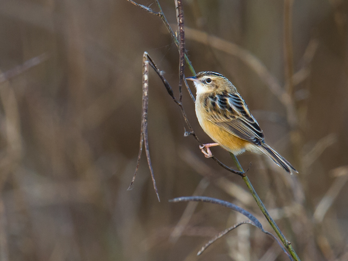 Zitting Cisticola, Hengsha Island, 7 Dec. 2016. Photo by Craig Brelsford.