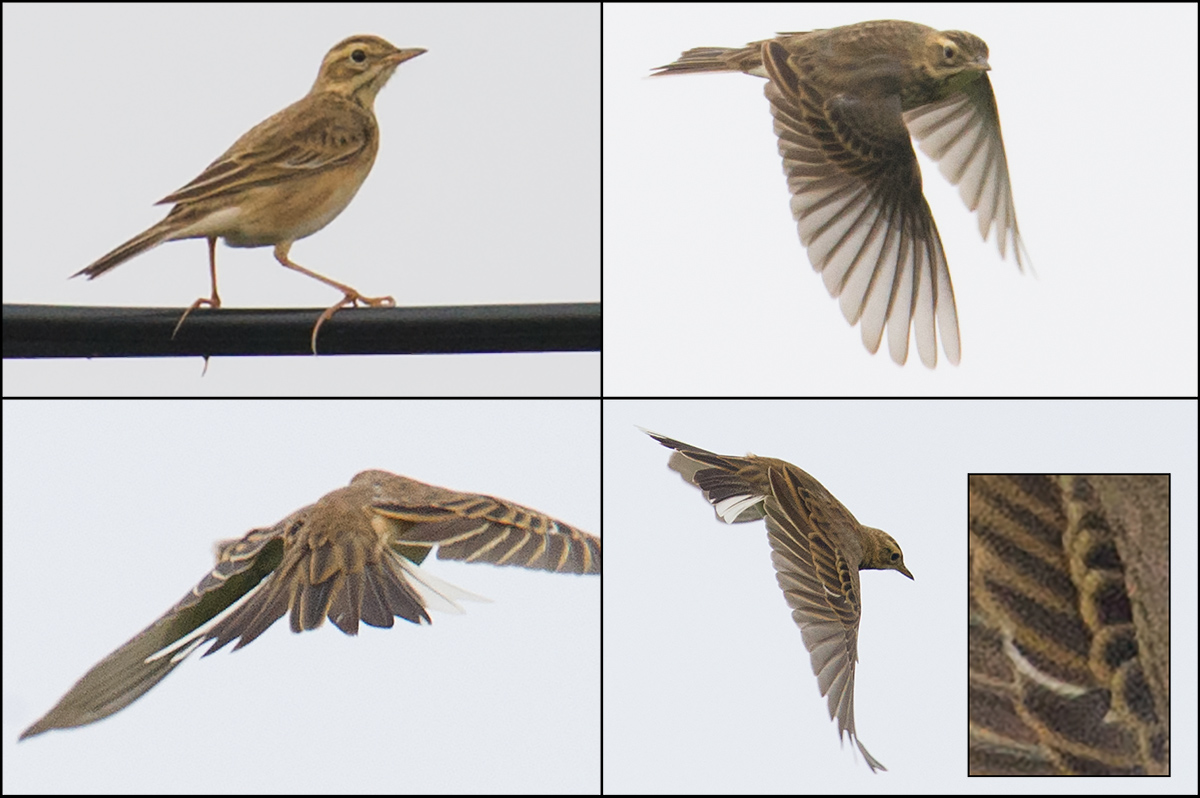 Richard's Pipit, Yangkou, Jiangsu, 5 Sept. 2014. Alström et al. urge birders to use care in ID'ing Blyth's and Richard's. Here, the median coverts of this Richard's appear squarish, like Blyth's (bottom R, inset). But note the date of the photo: 5 Sept., a time of year when most Richard's show worn plumage. The authors write: 'In worn plumage the shape of the dark centres to the secondary coverts is generally less obviously different, and the pale tips can be much the same colour in both species' (237). The ID of this Richard's was derived from its call, a more constant feature, and not from the appearance of its worn median coverts. Craig Brelsford.