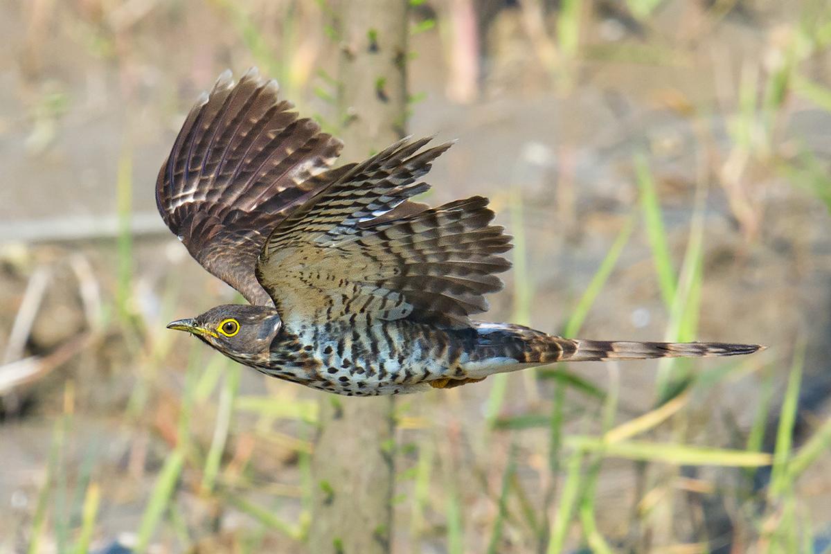 Large Hawk-Cuckoo, Shanghai. Craig Brelsford.
