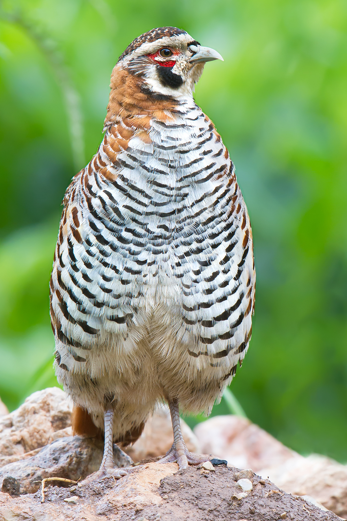 Tibetan Partridge, 5 July 2016. Craig Brelsford.