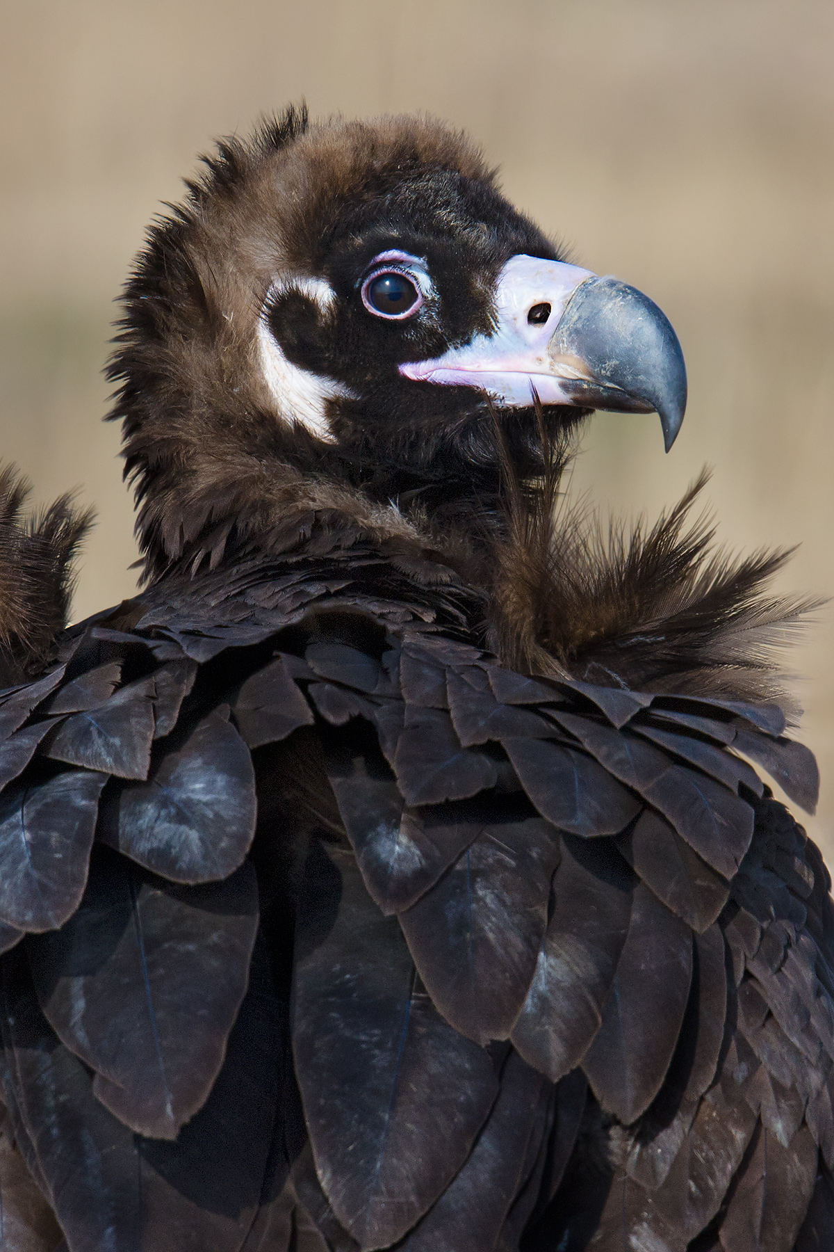 Cinereous Vulture, 23 Jan. 2016. Photo by Craig Brelsford.