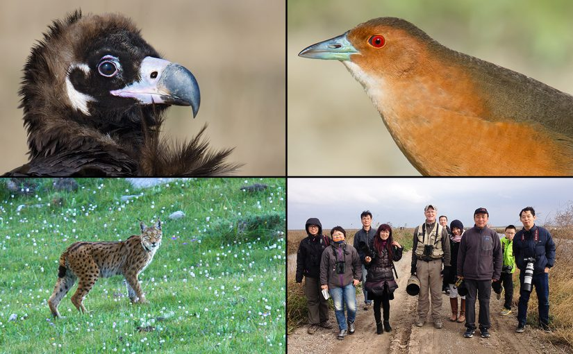 2016 highlights, clockwise from top left: Cinereous Vulture in Shanghai, Band-bellied Crake in Heilongjiang, leading local birders at Nanhui, and Tibetan Lynx in Qinghai.