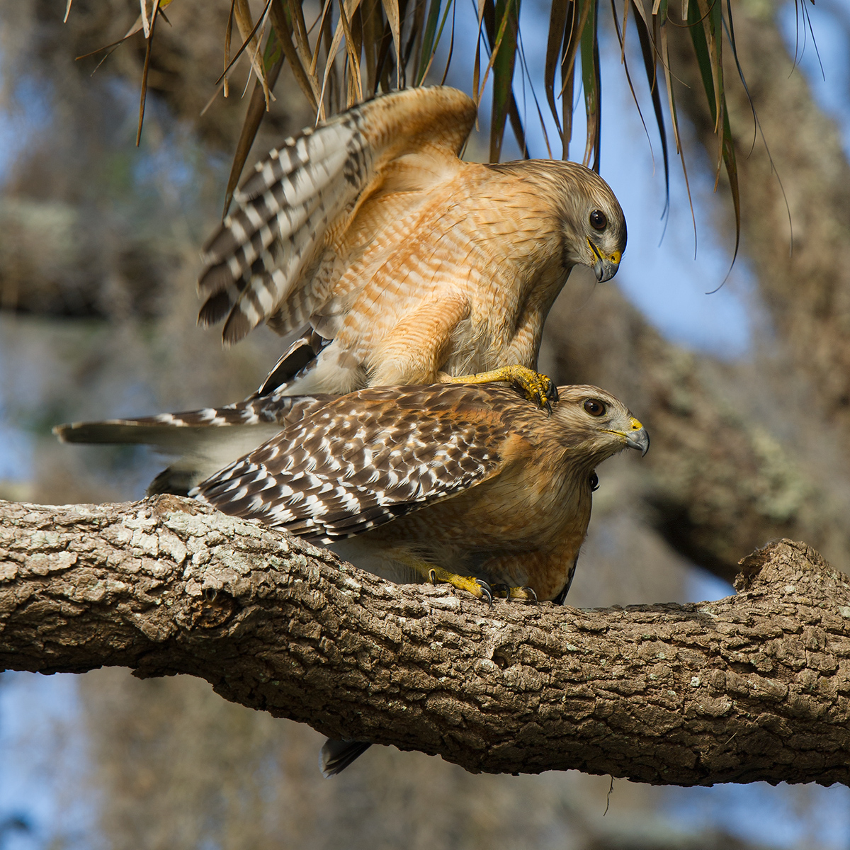 Red-shouldered Hawk Buteo lineatus, © Craig Brelsford (craigbrelsford.com, shanghaibirding.com). 27 Jan. 2017. Gemini Springs Park. Debary, Florida, USA. Action in this photo occurred at 28.861771, -81.309276.