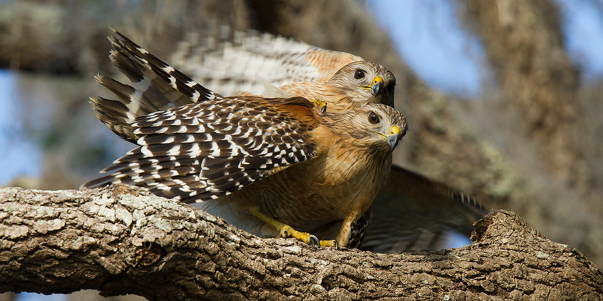 Red-shouldered Hawk Buteo lineatus, © Craig Brelsford (craigbrelsford.com, shanghaibirding.com). 27 Jan. 2017. Gemini Springs Park. Debary, Florida, USA. Action in this photo occurred at 28.861771, -81.309276.
