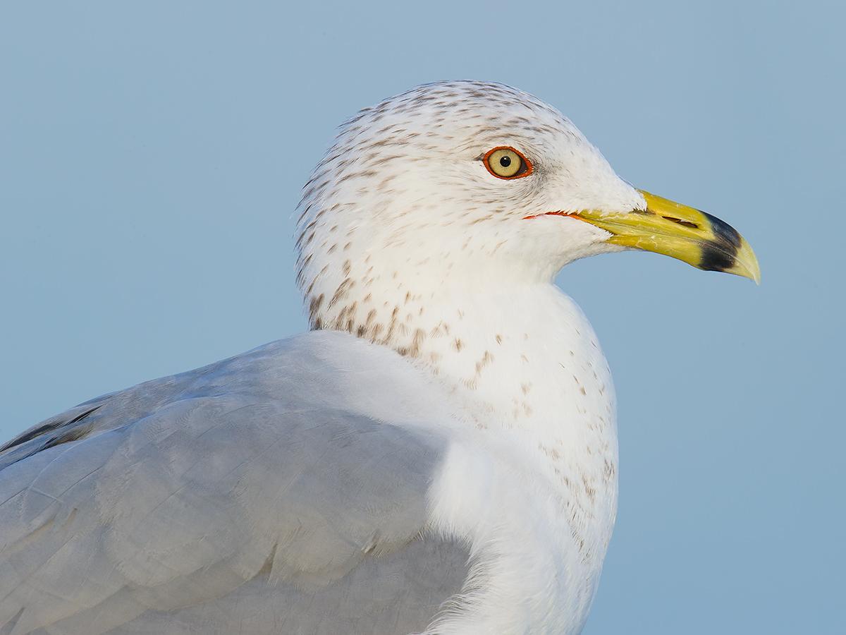 Ring-billed Gull Larus delawarensis, Cape Canaveral Lock, Brevard County, Florida, 14 Feb. 2017.
