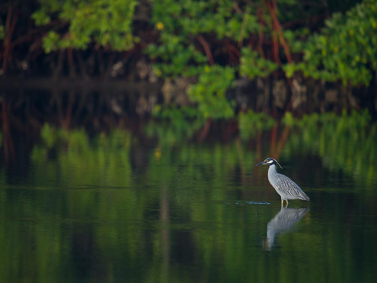 Yellow-crowned Night Heron Nyctanassa violacea, J. N. Ding Darling NWR--Wildlife Drive, Lee County, Florida, USA, 9 February 2017. © 2017 by Craig Brelsford (www.craigbrelsford.com, www.shanghaibirding.com).