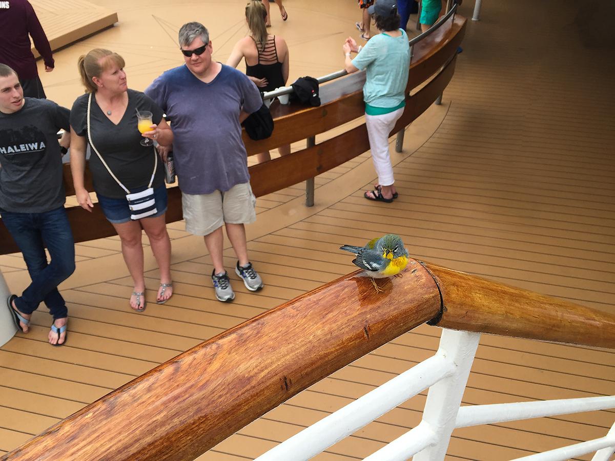 Northern Parula <em>Setophaga americana</em>, Deck 11 of cruise ship Majesty of the Seas, anchored off Little Stirrup Cay, Bahamas (25.8165814, -77.9390717), 16 Feb.