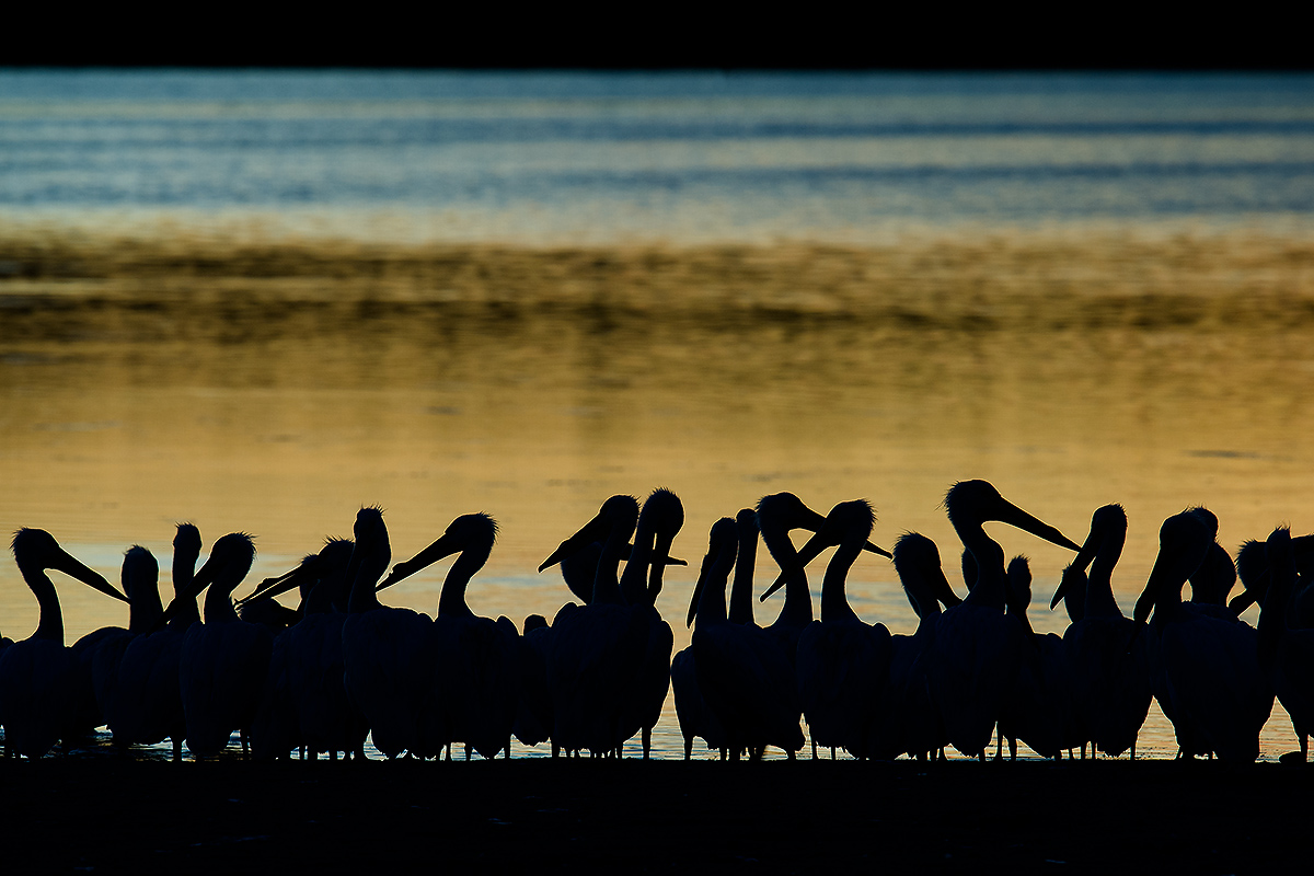 """Council of Pelicans."" American White Pelican Pelecanus erythrorhynchos, J. N. ""Ding"" Darling National Wildlife Refuge, Sanibel Island, Lee County, Florida, USA, 9 February 2017. © 2017 by Craig Brelsford • www.craigbrelsford.com • www.shanghaibirding.com."