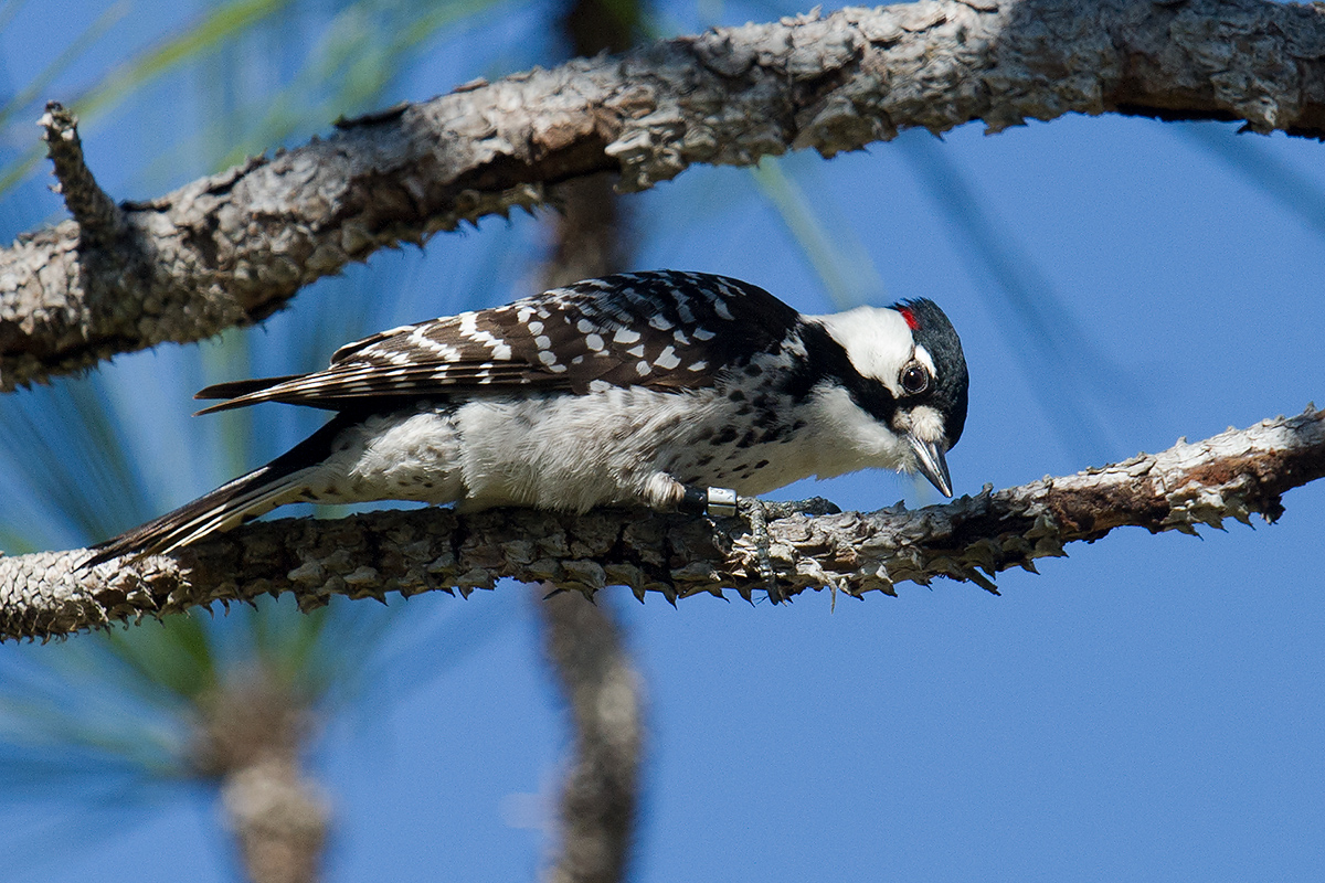 Red-cockaded Woodpecker Leuconotopicus borealis, © Craig Brelsford (craigbrelsford.com, shanghaibirding.com). 31 Jan. 2017. Three Lakes Wildlife Management Area, Osceola County, Florida, USA (27.949104, -81.143137).