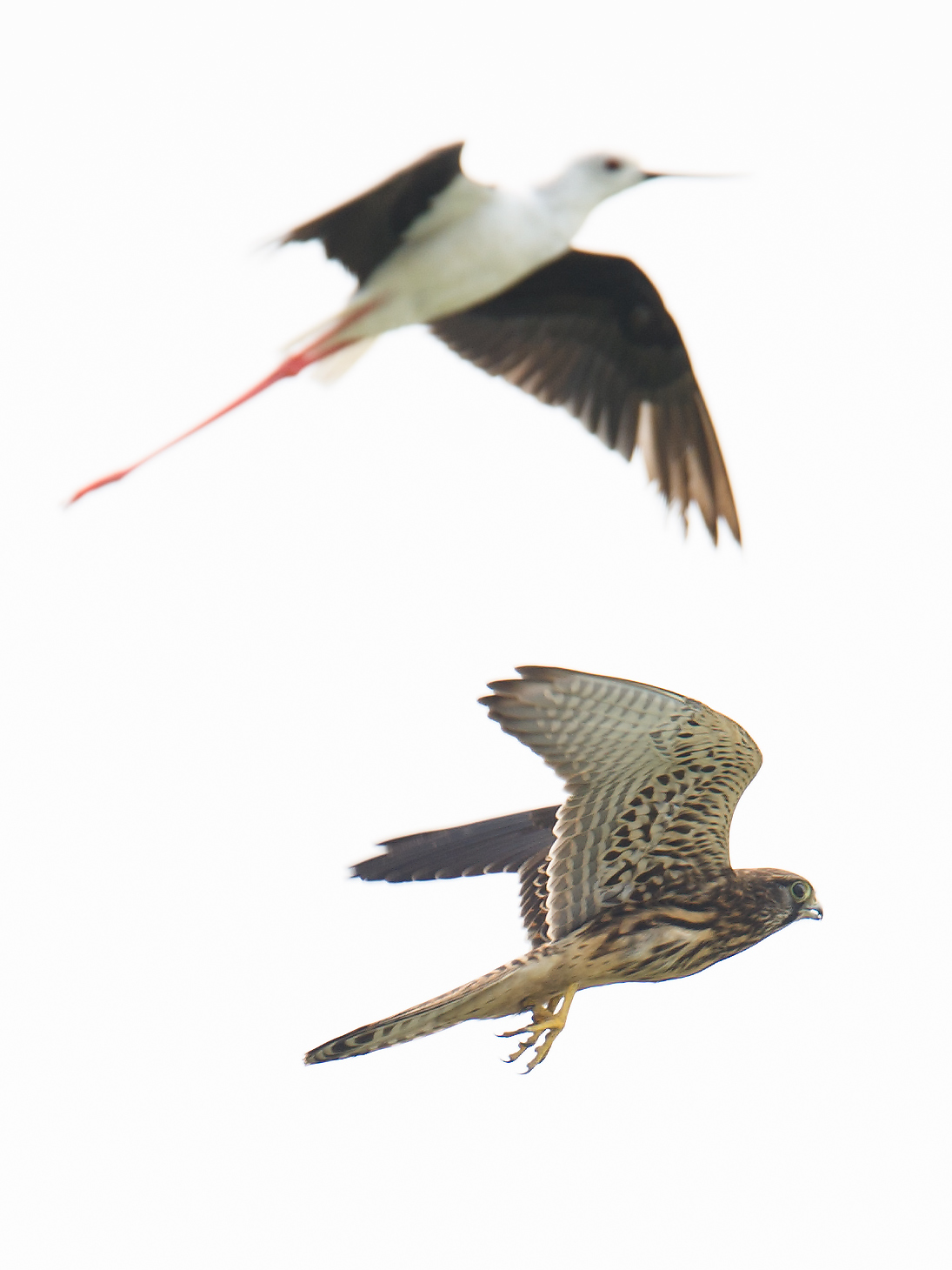 Common Kestrel Falco tinnunculus being mobbed by Black-winged Stilt Himantopus himantopus. © Craig Brelsford (craigbrelsford.com, shanghaibirding.com). 5 Aug. 2017. Cape Nanhui, Pudong, Shanghai, China.