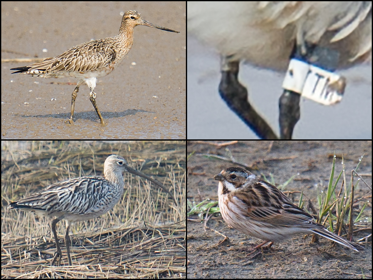 Birds of Hengsha Island, 26 March 2017. Clockwise from top L: Bar-tailed Godwit, showing (top R) band and ring combination indicative of processing on Chongming Island; Common Reed Bunting; and Eurasian Curlew. (Craig Brelsford)
