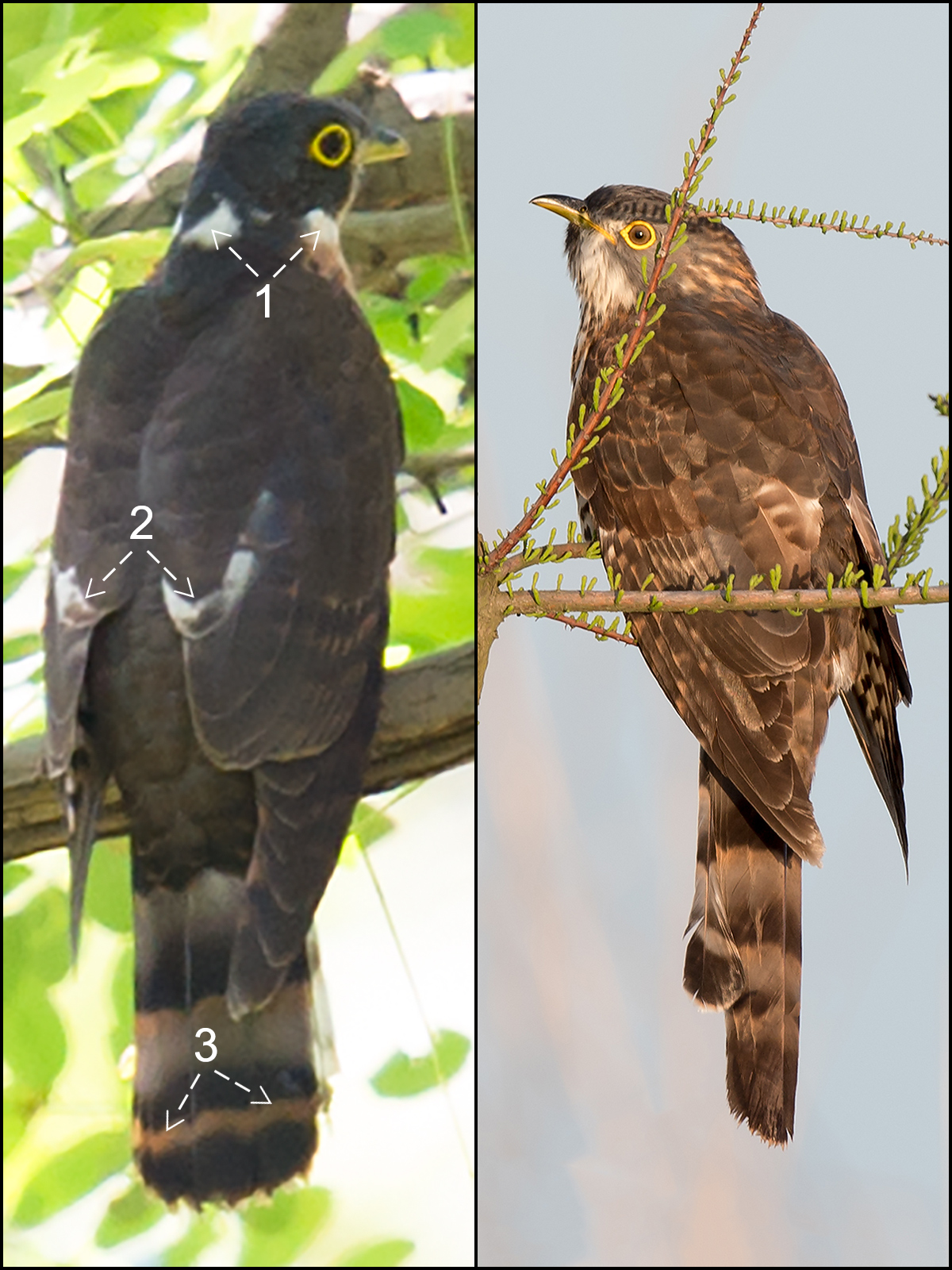 L: Rufous Hawk-Cuckoo (Craig Brelsford). R: Large Hawk-Cuckoo (Kai Pflug)