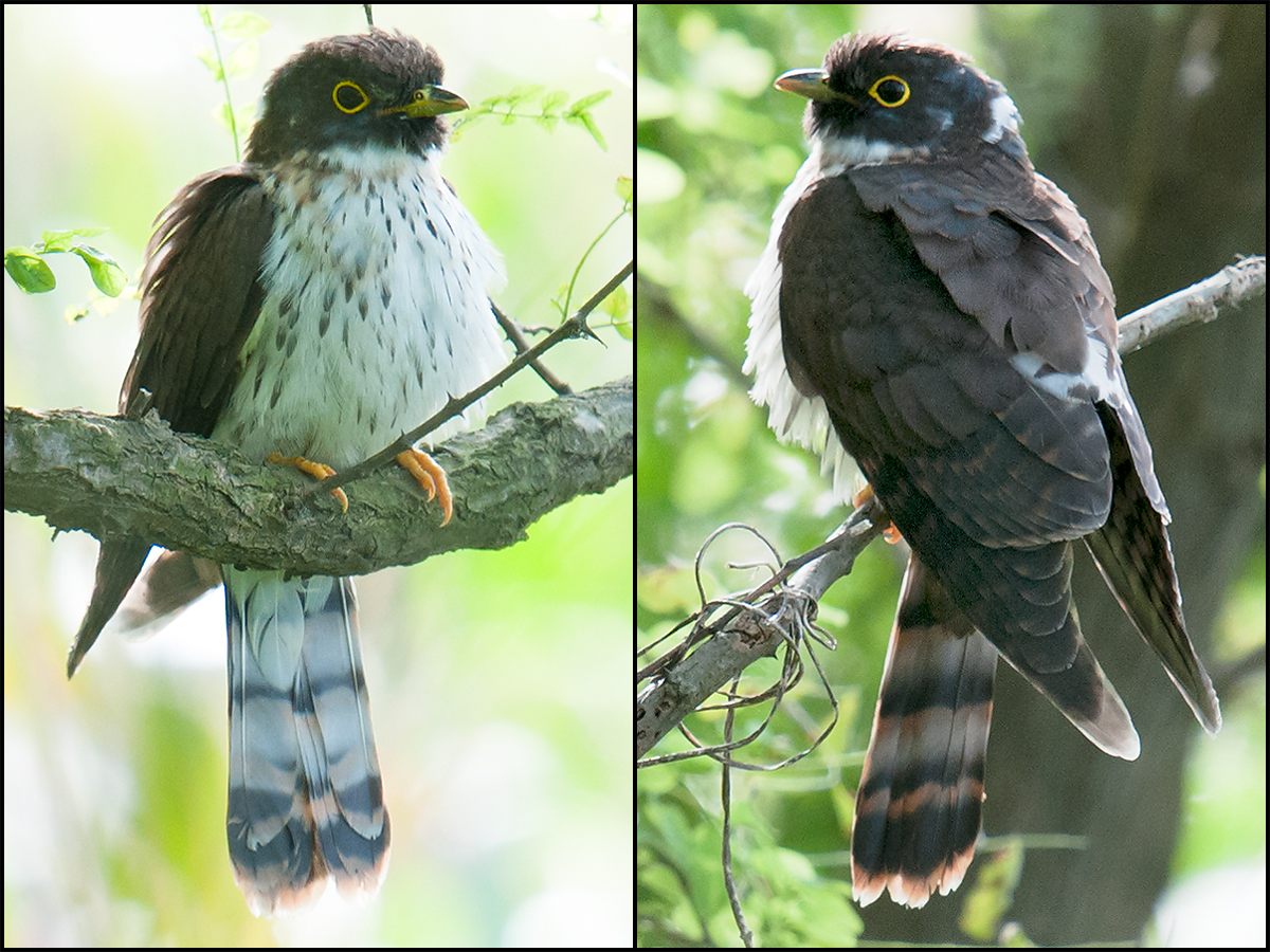 Rufous Hawk-Cuckoo, 6 Oct. 2010. (Craig Brelsford)