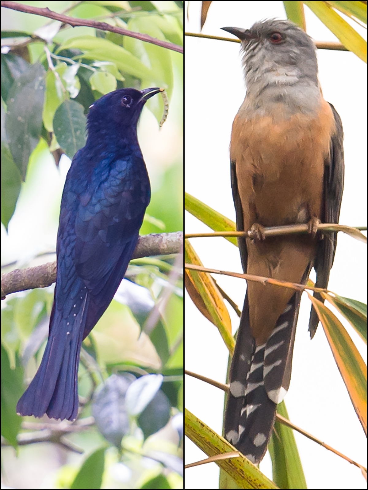 Fork-tailed Drongo-Cuckoo <em>Surniculus dicruroides</em> (L) and Plaintive Cuckoo <em>Cacomantis merulinus</em> occur in south China. Neither is likely to stray to the Shanghai region, but may be found as close to Shanghai as the mountains of Zhejiang. L: Skytree Nature Reserve (21.62801, 101.58878), Xishuangbanna, Yunnan, China, 18 March 2012 (Craig Brelsford). R: Yingjiang, Yunnan, March 2017 (Kai Pflug).</em></em>