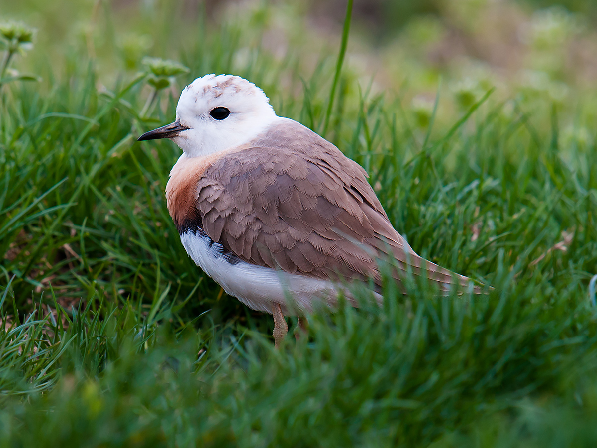 The pure white head of breeding male Oriental Plover is diagnostic. Sanjiagang, 2 April 2010. Craig Brelsford.