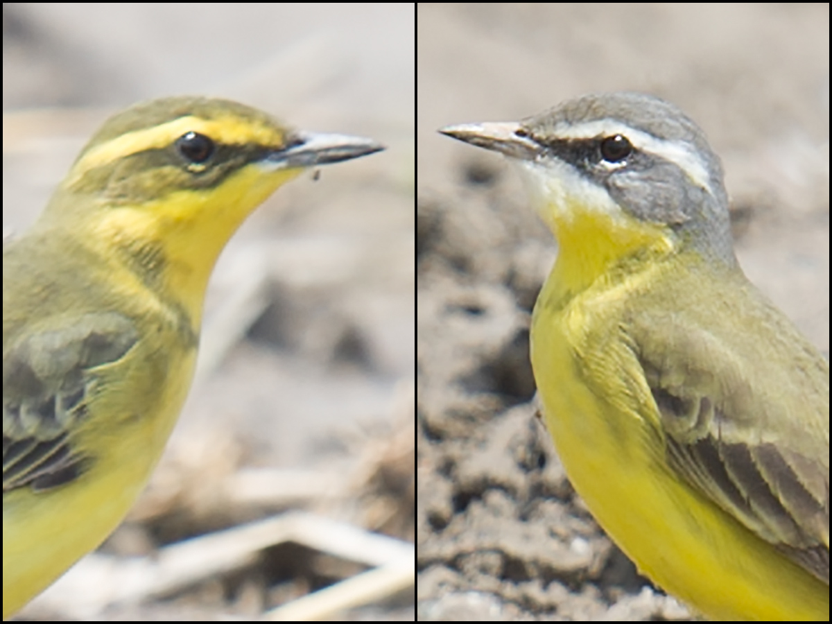 Varities of Eastern Yellow Wagtail. L: 'Green-headed Wagtail' Motacilla tschutschensis taivana. R: 'Alaska Wagtail' Motacilla tschutschensis tschutschensis. Both photographed within a few meters of each other dry rice paddies at Cape Nanhui, 13 May 2017. (Craig Brelsford)