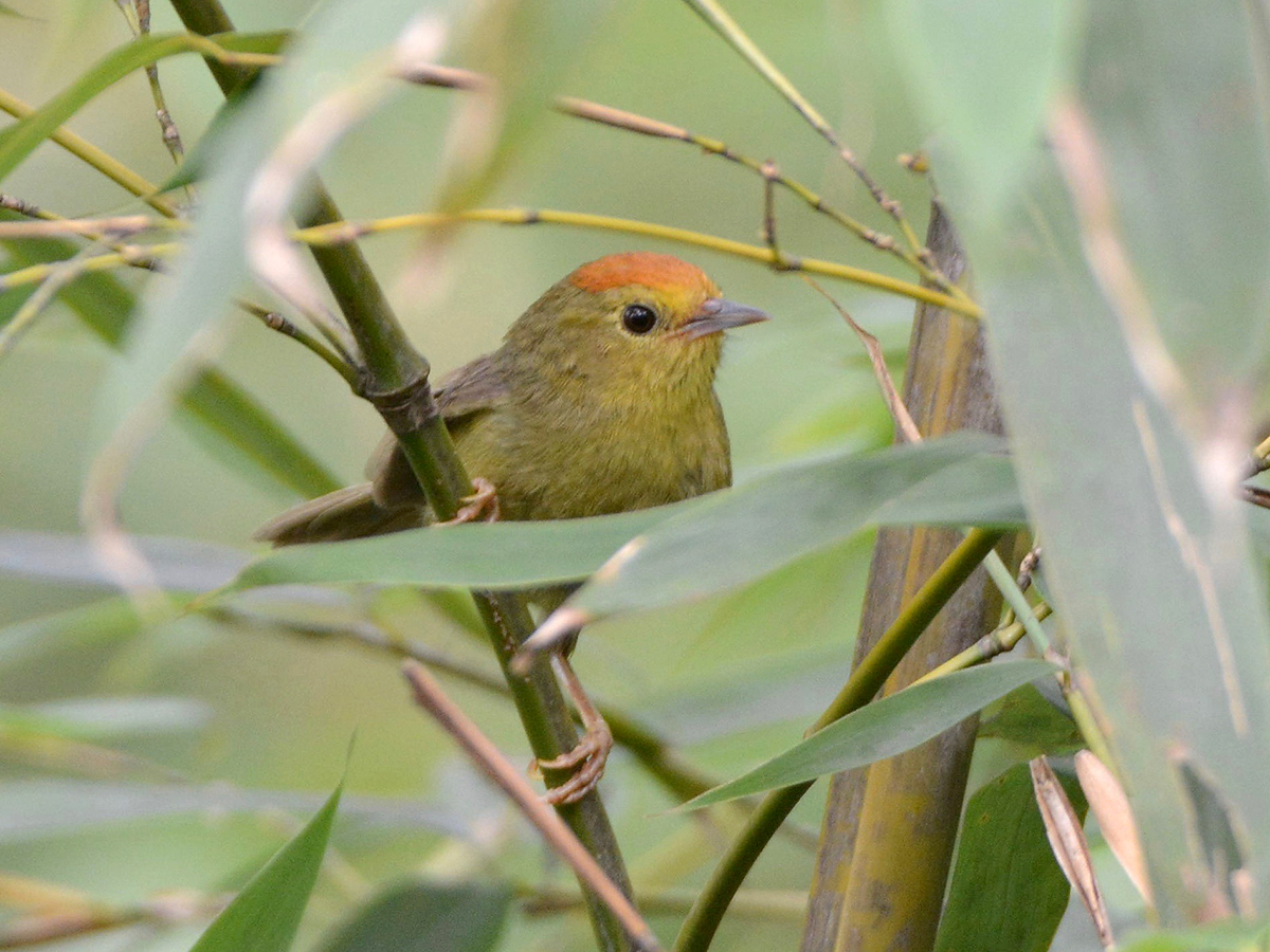 Rufous-capped Babbler, one of several species common at Tianmu and absent in Shanghai. (Komatsu Yasuhiko)
