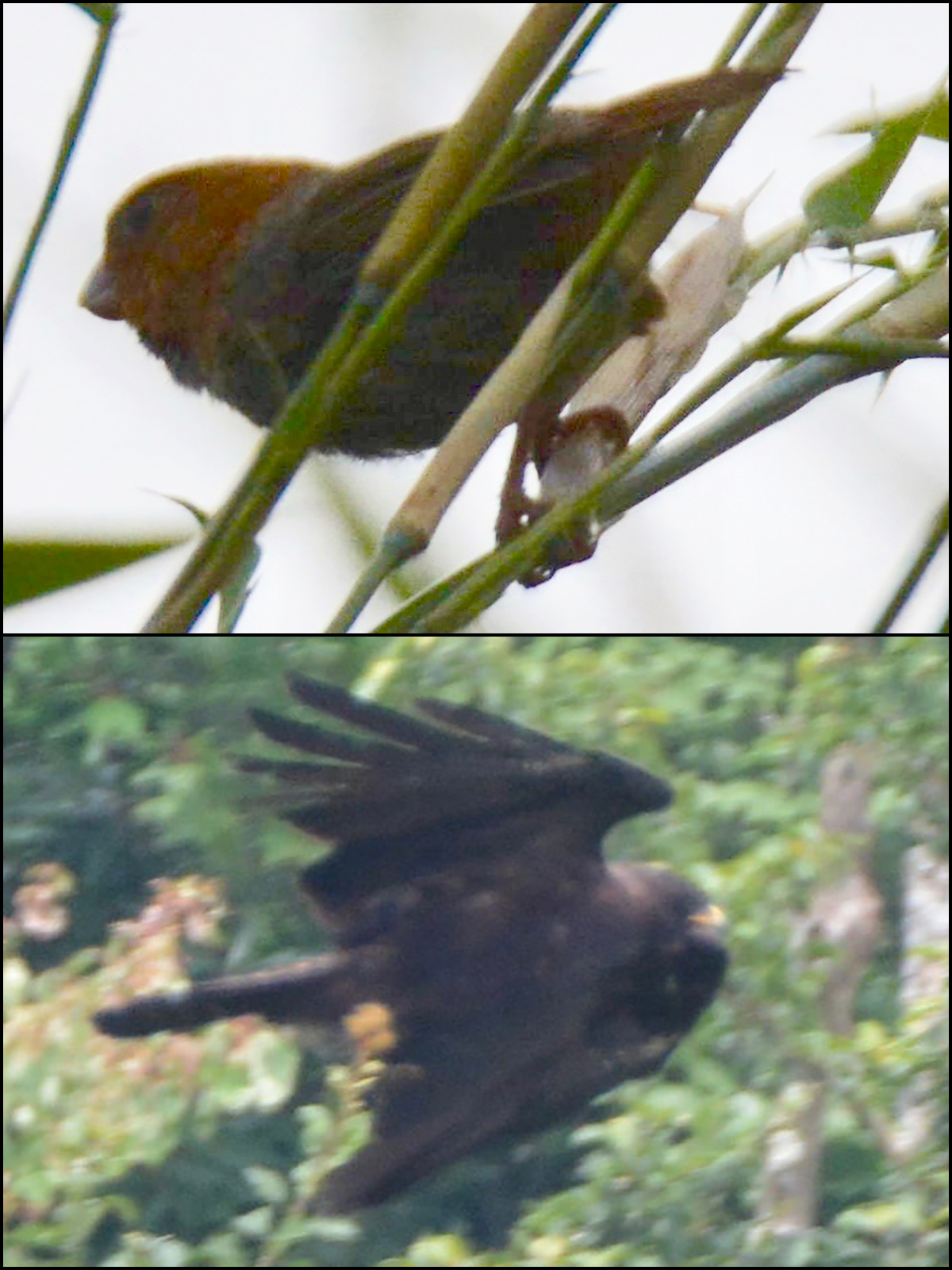 Tianmu highlights: Short-tailed Parrotbill (top) and Black Eagle, (Komatsu Yasuhiko)