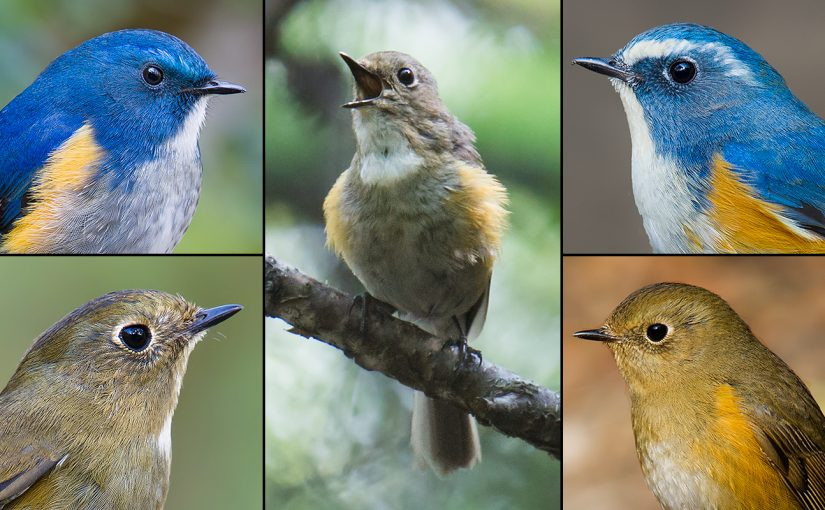 "L panels: Himalayan Bluetail. R panels: Red-flanked Bluetail. C: ""Gansu"" Bluetail. Craig Brelsford."