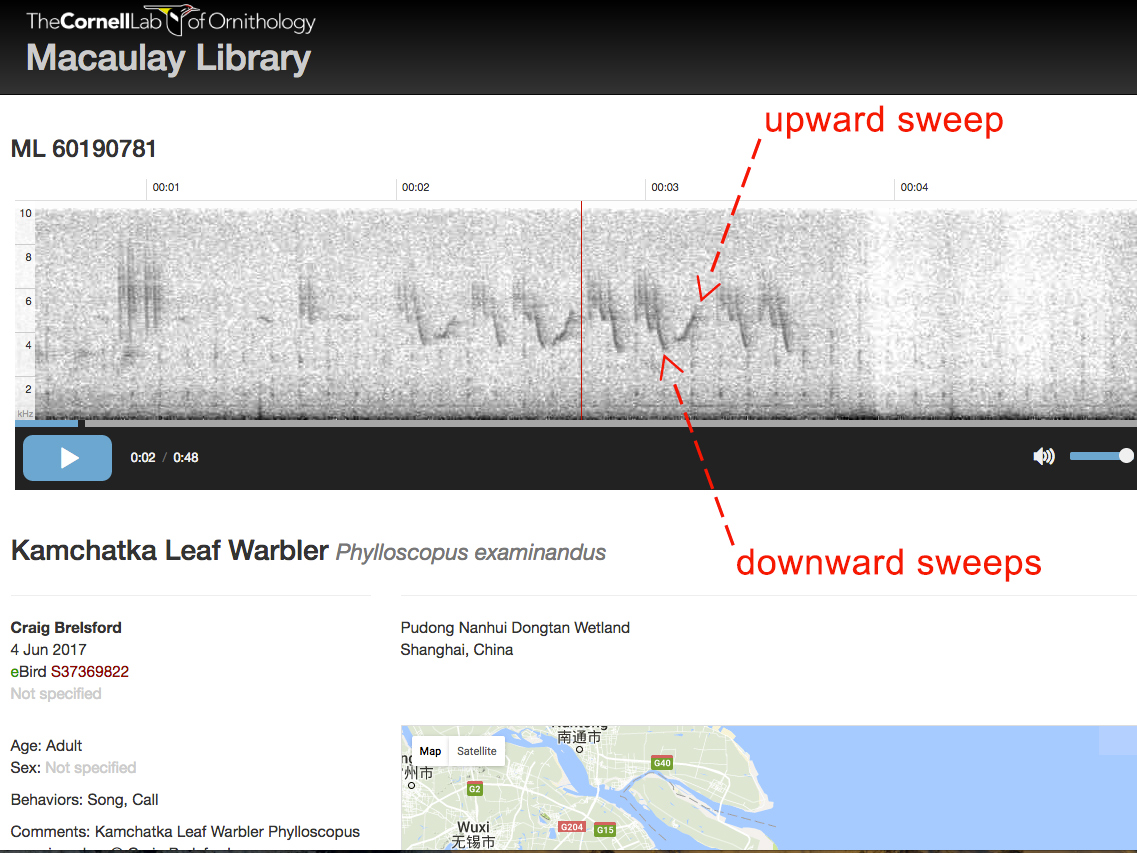 Spectrogram of Craig Brelsford's recording of Kamchatka Leaf Warbler Phylloscopus examinandus.