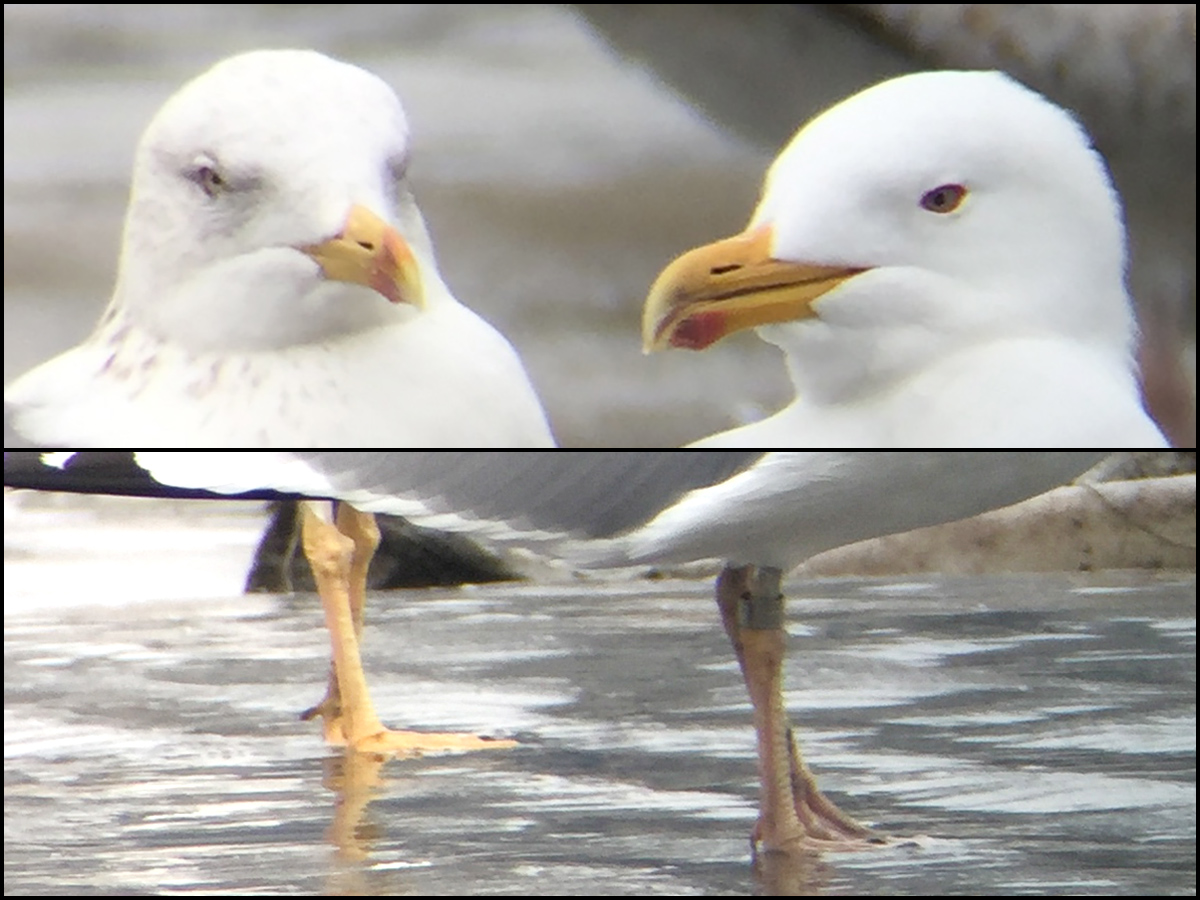 Taimyr Gull (L) and Mongolian Gull. Heads and legs. 18 March 2017, Craig Brelsford.