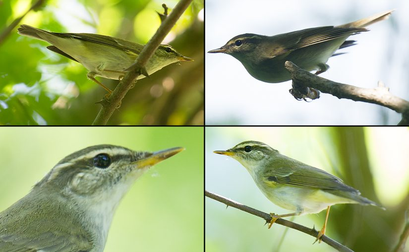 I had long wanted to experience Kamchatka Leaf Warbler. On 4 June 2017, I got that chance. Craig Brelsford.