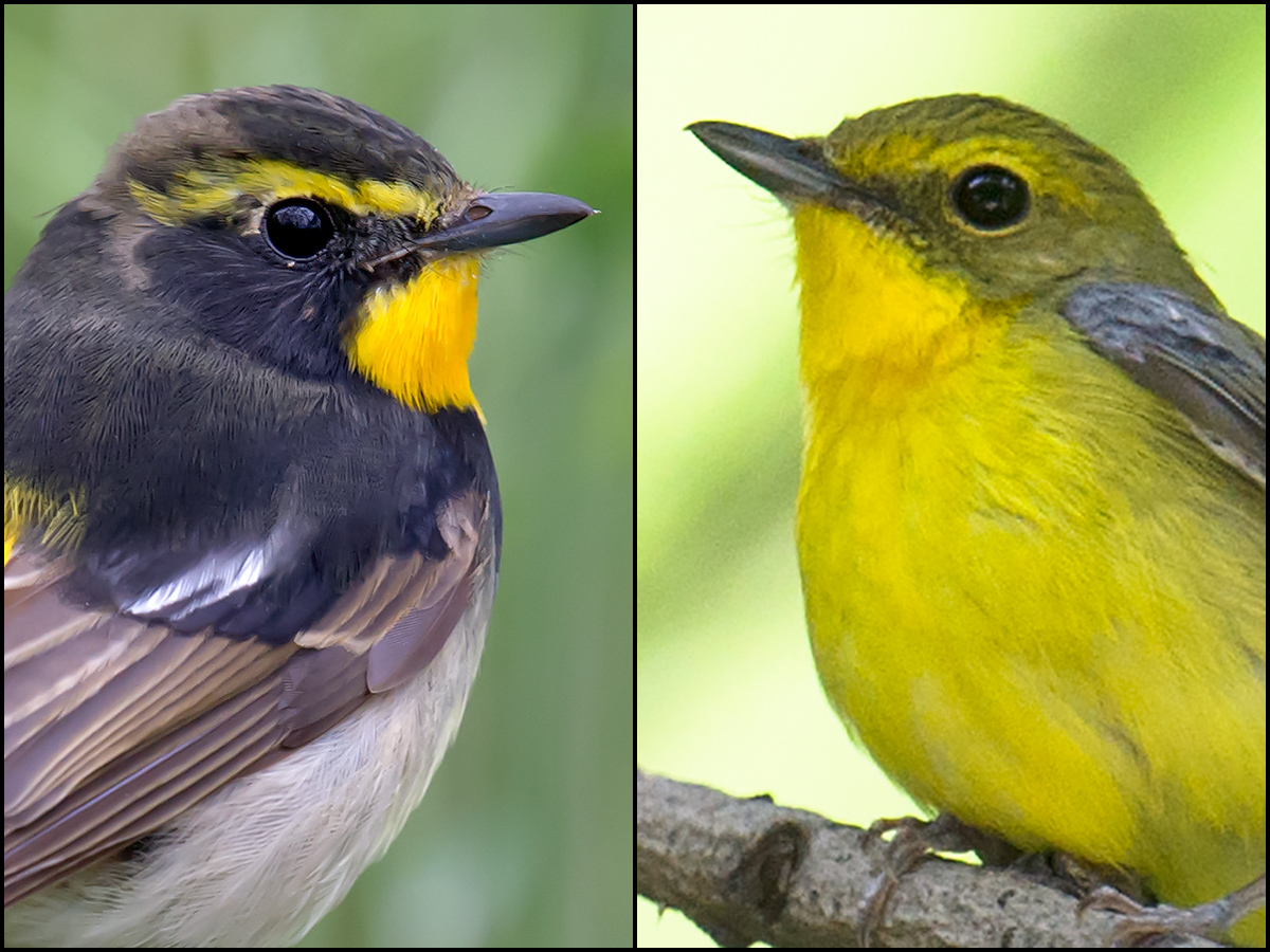 Adult-male Narcissus Flycatcher (L) and Green-backed Flycatcher bear little resemblance to one another but were long classified as a single species. The situation was owing more to a dearth of research than to any intrinsic ID difficulties among the two species. Craig Brelsford.