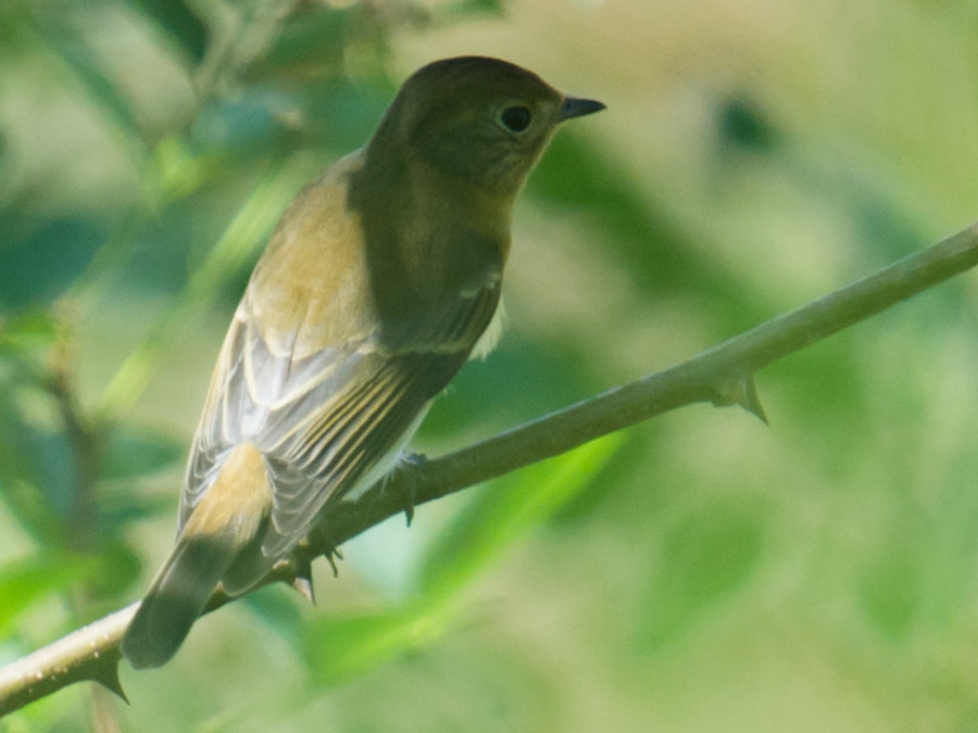 Green-backed Flycatcher, Dongtai, 28 Sept. 2015.