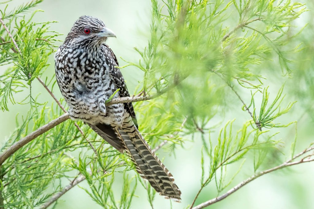 Asian Koel found 2 June 2016 at Nanhui. Photo by Kai Pflug.