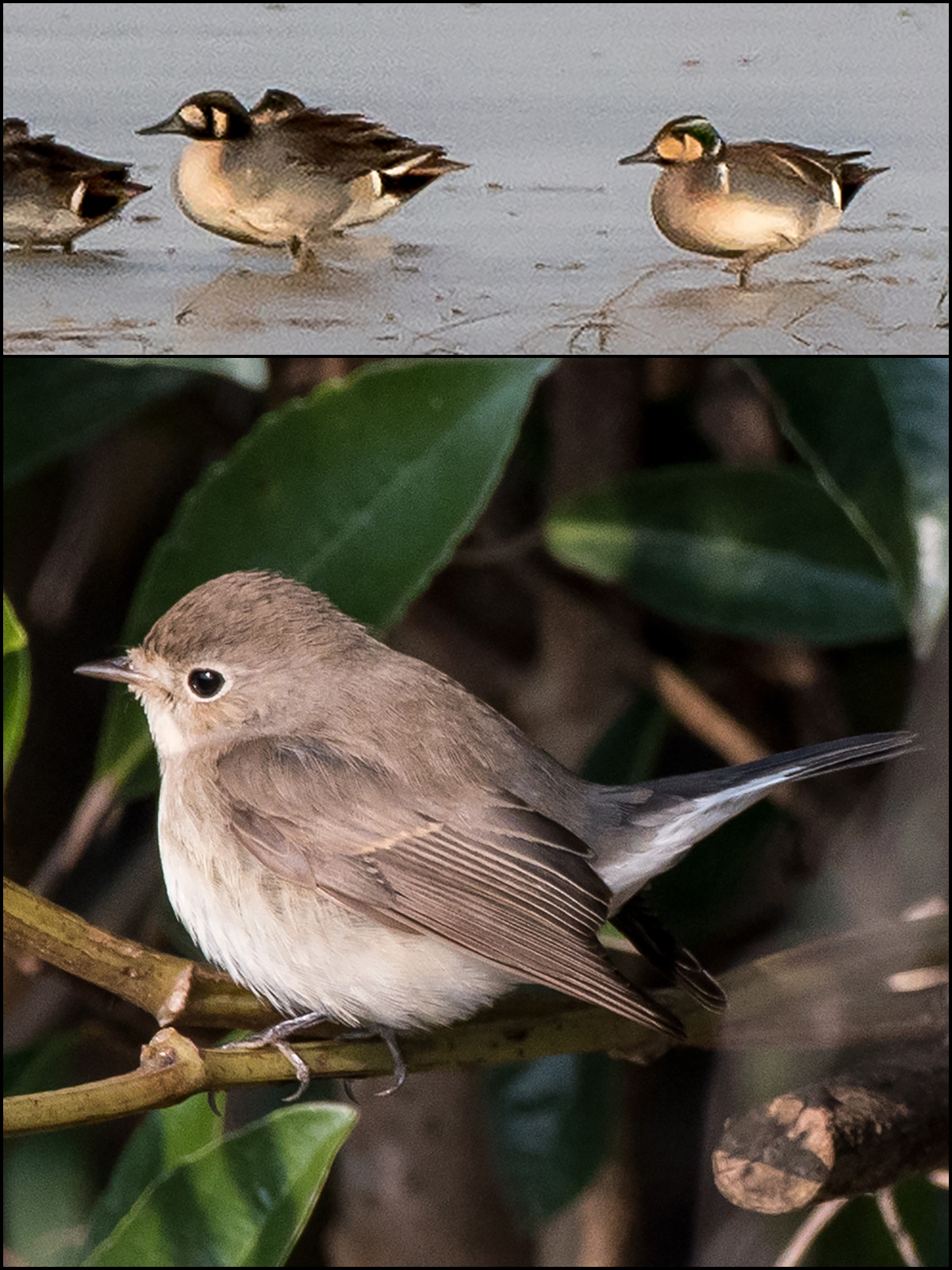 Top: hybrid Baikal Teal x Northern Pintail (L) and Baikal Teal. Bottom: Red-breasted Flycatcher, resident at Magic Parking Lot, Nanhui since at least 6 Dec. Photos by Hǎo Zhàokuān (郝兆宽).