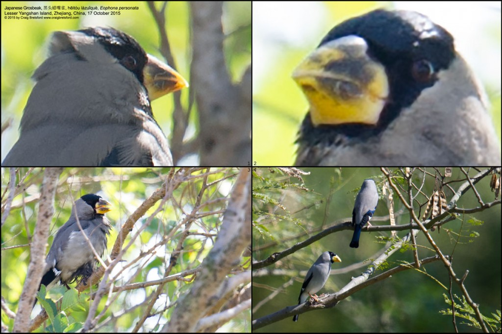 Japanese Grosbeak Eophona personata is larger than Chinese Grosbeak E. migratoria, has a simpler wing coloration (all-black primaries with large white patch in middle) and a less extensive black cap, and lacks black tip to bill.