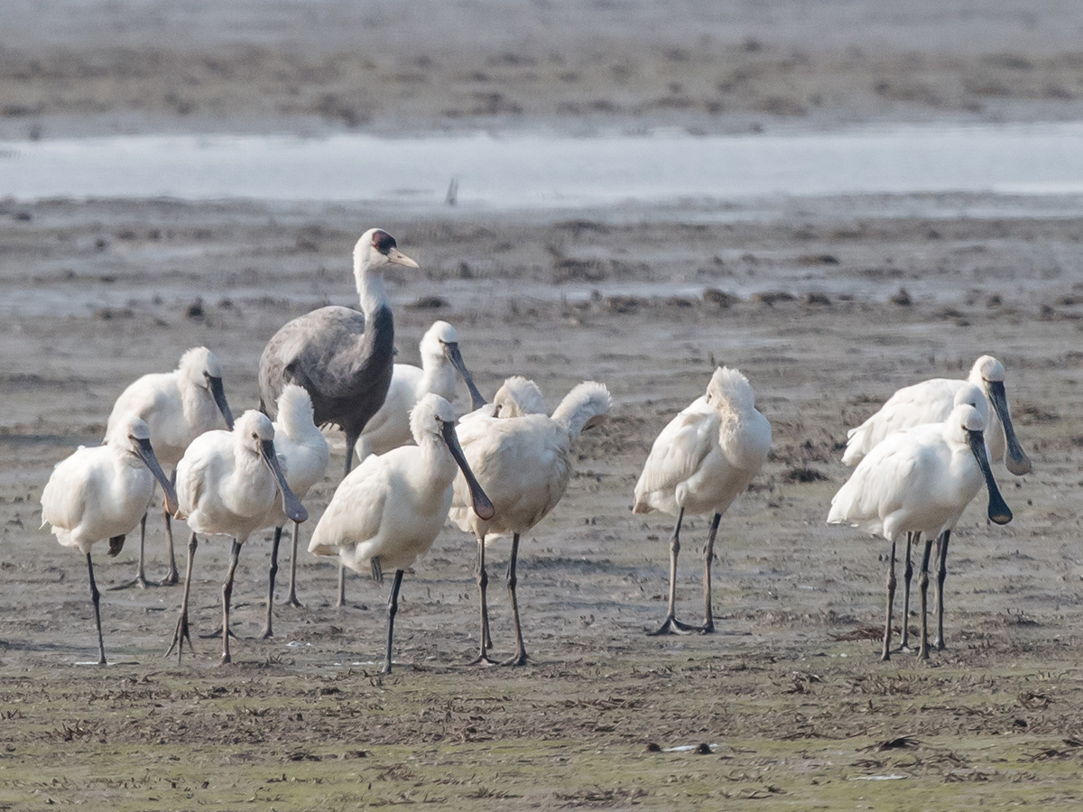 Hooded Crane Grus monacha among Eurasian Spoonbill at defunct wetland reserve, Nanhui, 9 Dec. 2016. Shanghai birders at Cape Nanhui have been recording this individual regularly since the historic first mainland Shanghai record on 12 Nov. 2016. Crane has been seen in rice paddies on either side of road at 30.939376, 121.956494. The record on 9 Dec. was the first in the defunct reserve. Photo by Kai Pflug.