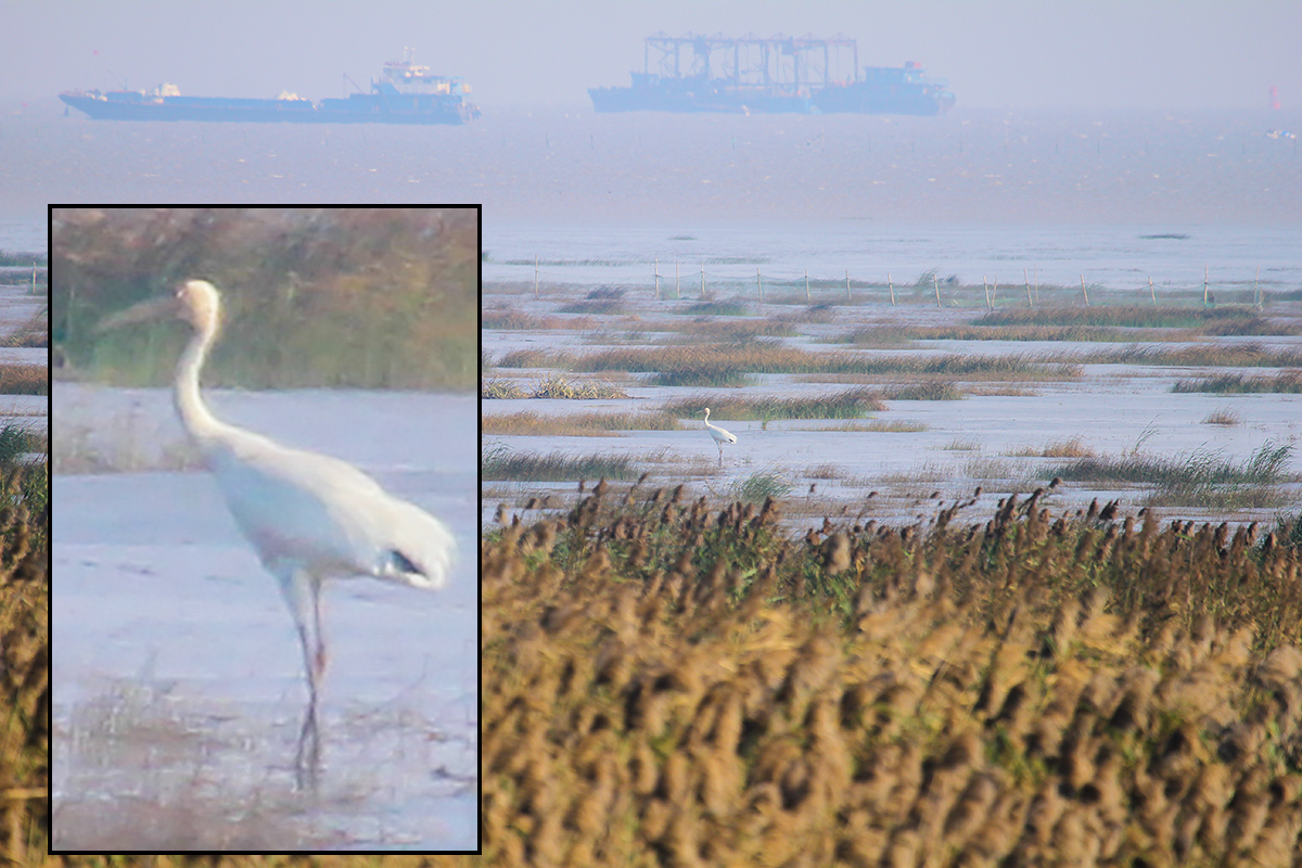 "Siberian Crane, <a href=""https://www.shanghaibirding.com/sites/nanhui/"" target=""_blank"">Nanhui</a>, 24 Nov. 2016. Third record in the history of Nanhui. First record was of a crane that first appeared in December 2006 and stayed until February 2007. The second record was in November 2015. Photo by Hé Xīn (何鑫)."