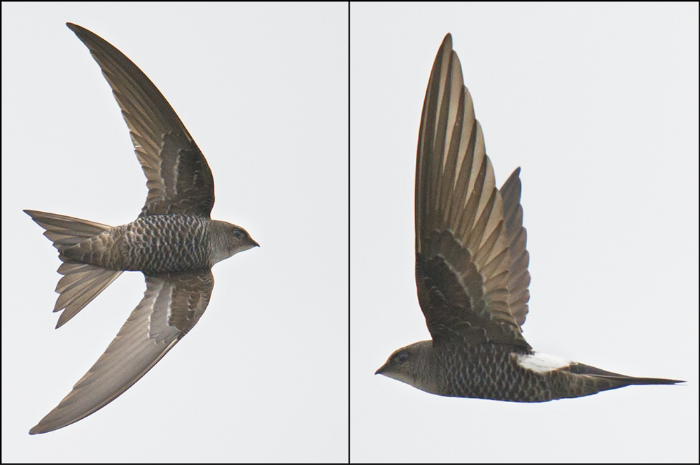 Pacific Swift Apus pacificus, Nanhui, 10 April 2016.