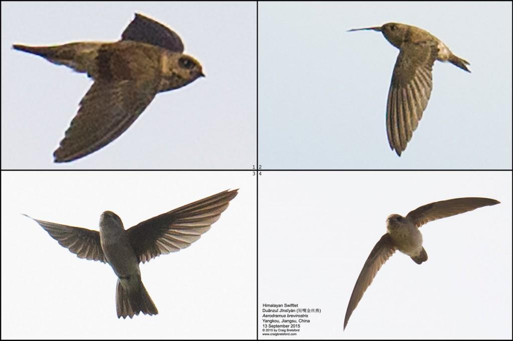 Himalayan Swiftlet (短嘴金丝燕, duǎnzuǐ jīnsīyàn, Aerodramus brevirostris)