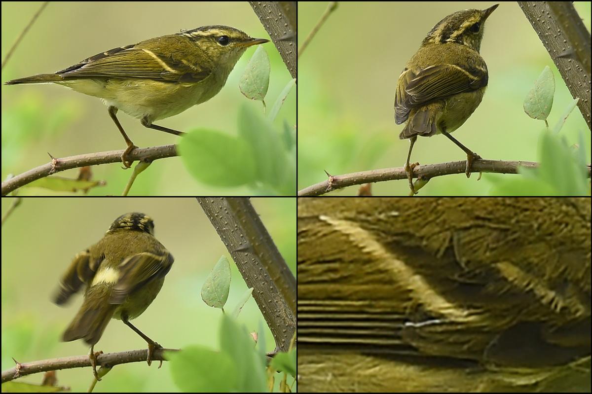 Chinese Leaf Warbler