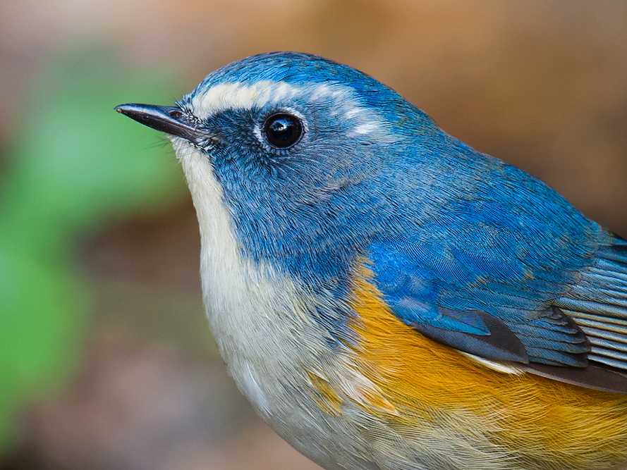 In winter, Red-flanked Bluetail can be found in even the smallest parks in urban Shanghai. However, you will need a bit of luck to bag an adult male such as this beauty, photographed at Shanghai Botanical Garden in 2011. Adult males are not commonly seen in the city.