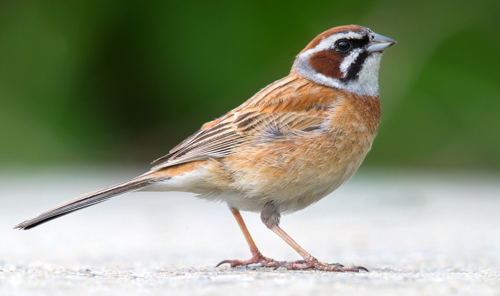 Meadow Bunting Emberiza cioides breeds on the island. This species defends territories even in winter, filling the coves and gullies with its lively song.