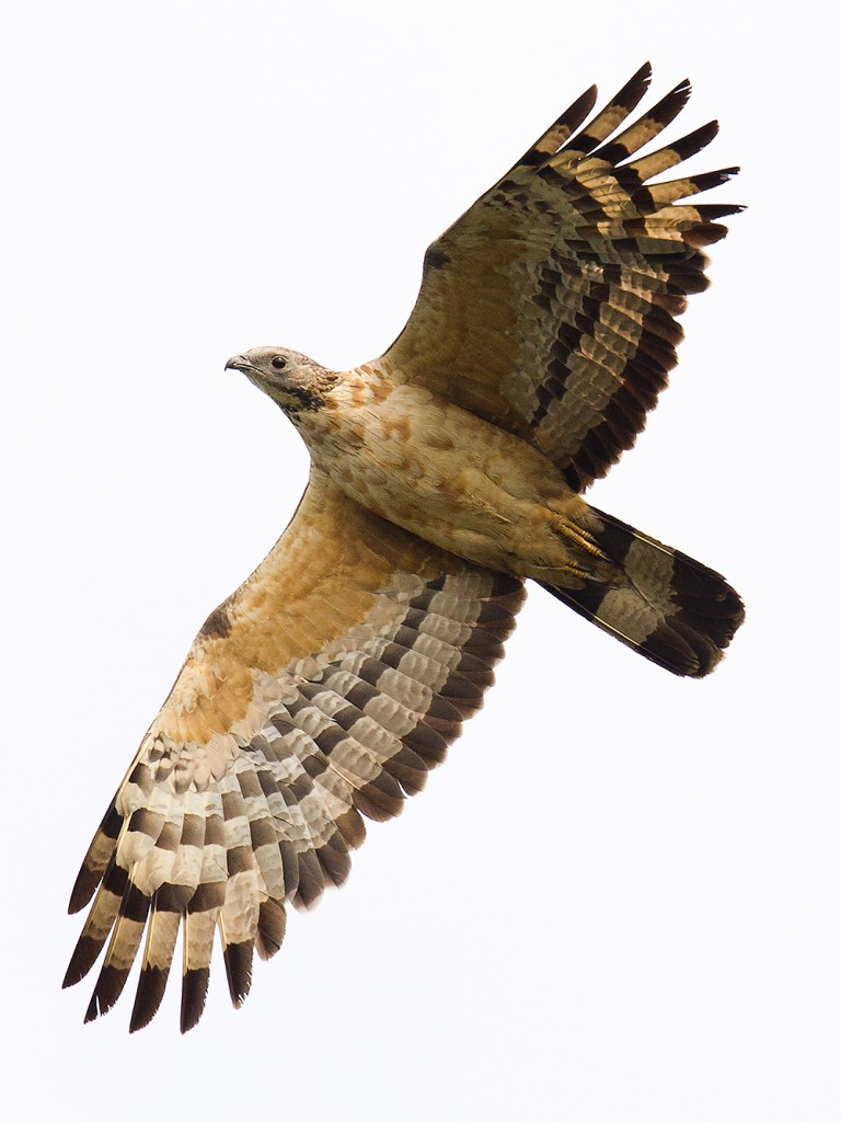Crested Honey Buzzard appears occasionally in the skies above Lesser Yangshan Island.