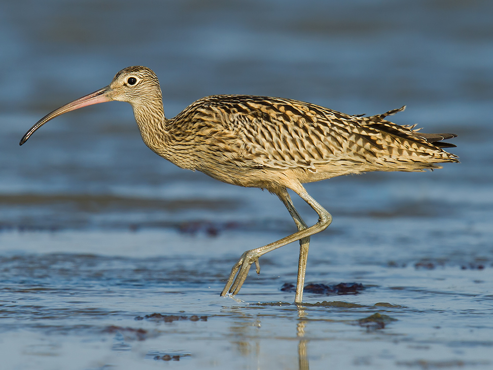 Endangered Far Eastern Curlew is one of many threatened species found at Yangkou.
