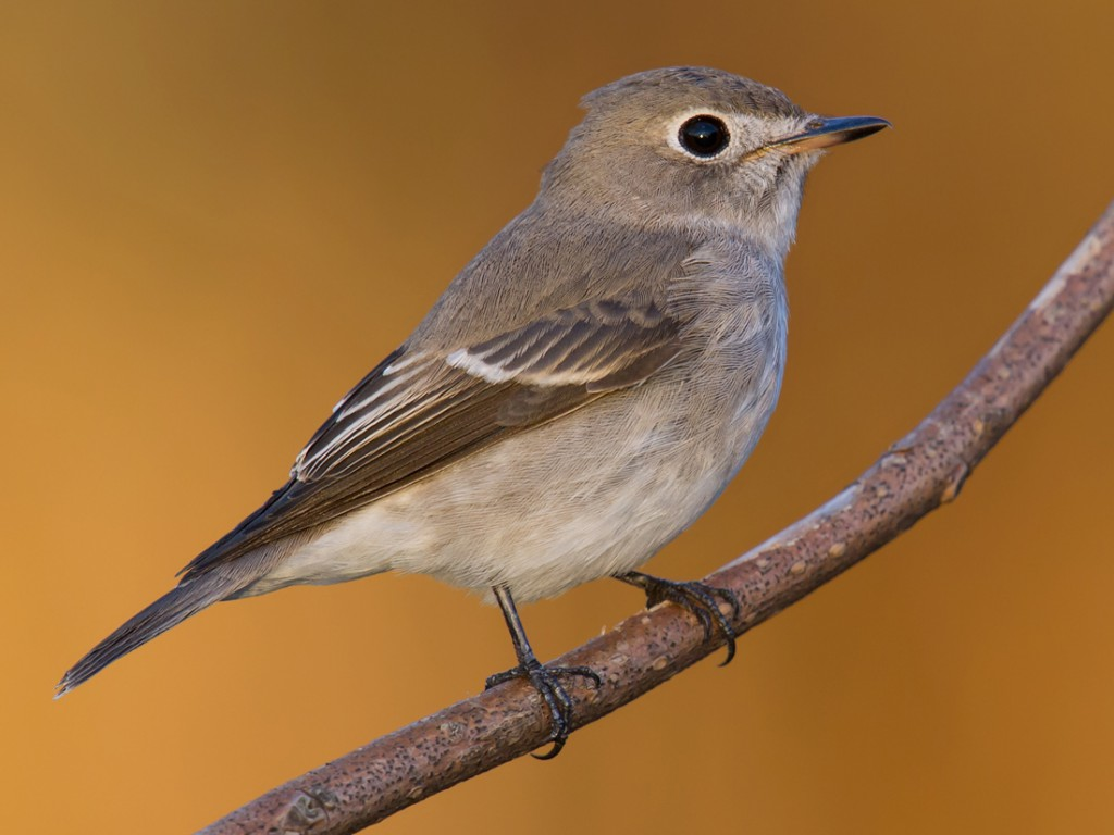 Asian Brown Flycatcher is a common spring and autumn passage migrant in the Shanghai region.