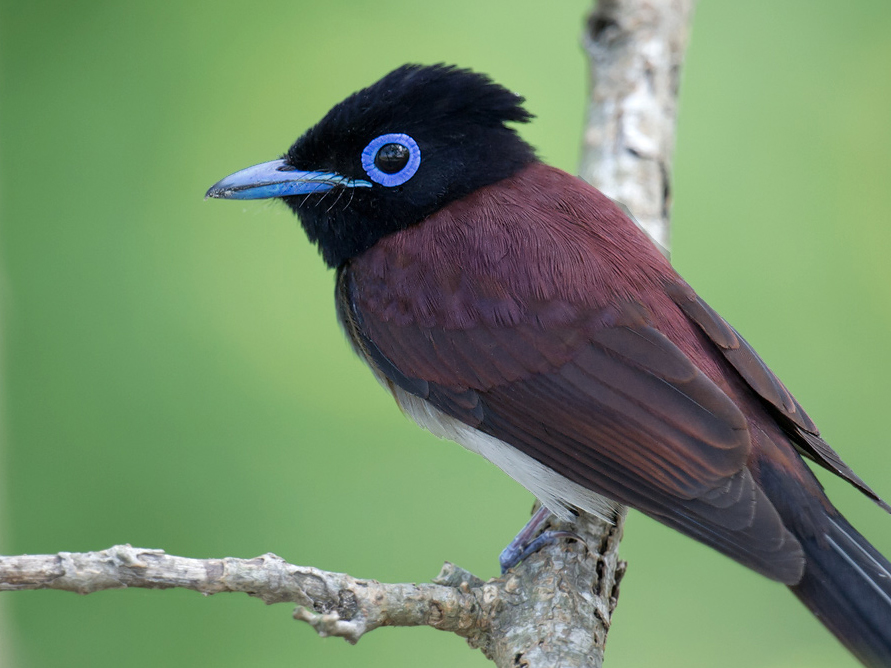 Listed as Near Threatened by the IUCN, Japanese Paradise Flycatcher is common on both the spring and fall migrations.