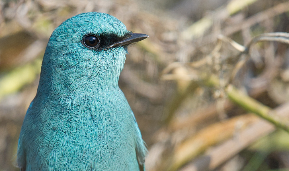 Every spring and autumn, one or two Verditer Flycatcher are recorded on Lesser Yangshan.