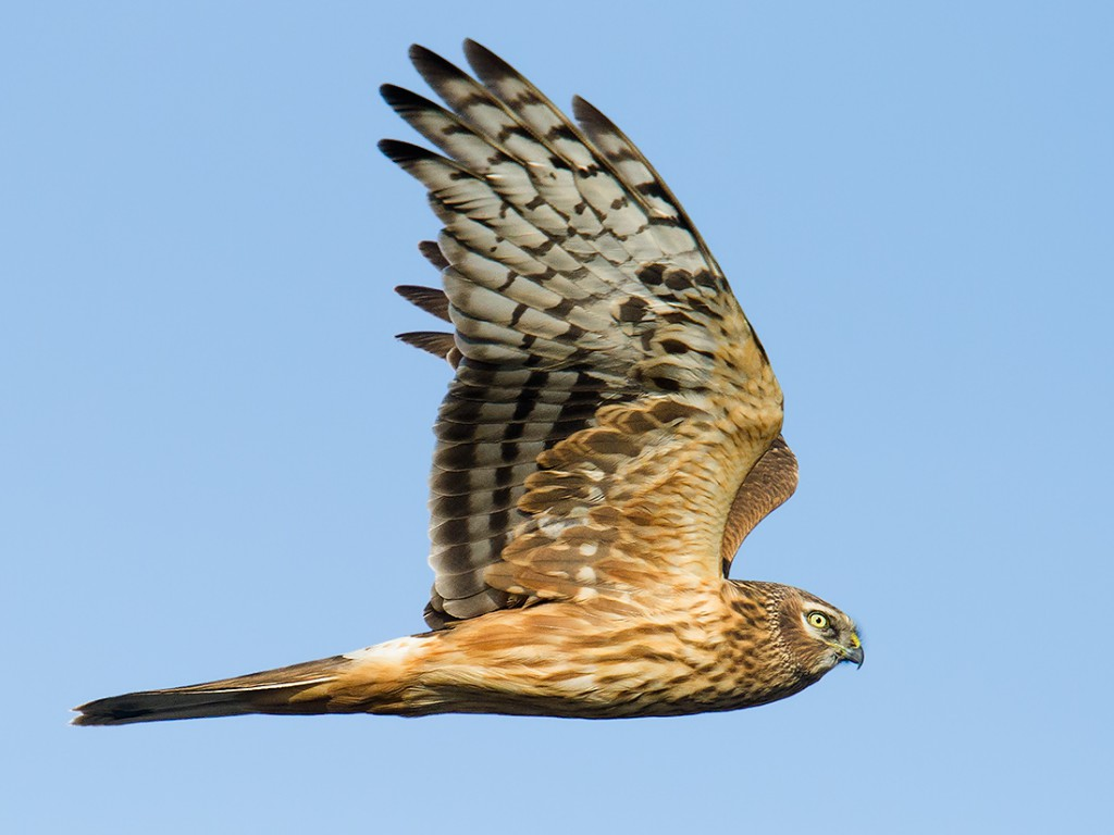 Hen Harrier is often seen at Nanhui.