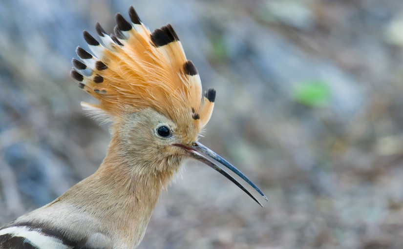 Eurasian Hoopoe, Yangkou, Jiangsu, China, 6 Sept. 2014.